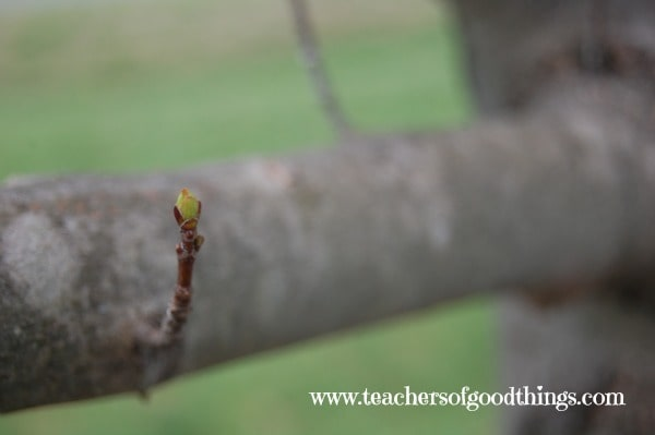 How to Study Trees - looking at the a bare tree is a great way to notice the bark and how it grows.